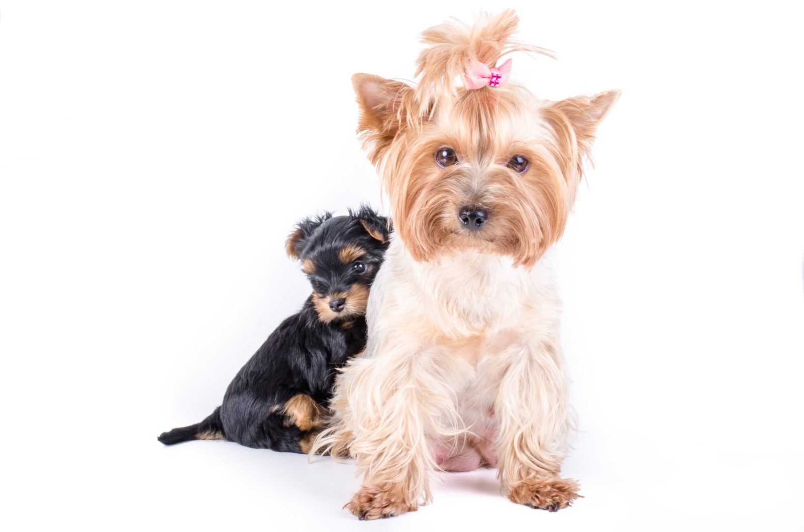 Yorkshire terrier mom and pup, 2 months old.